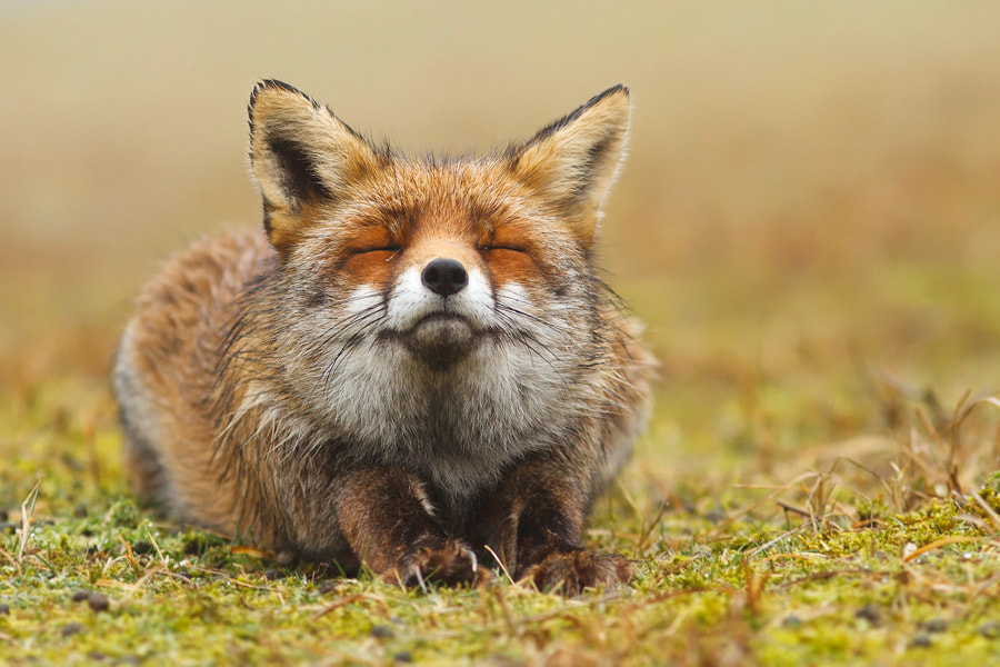 Photograph Happy Fox by Roeselien Raimond on 500px