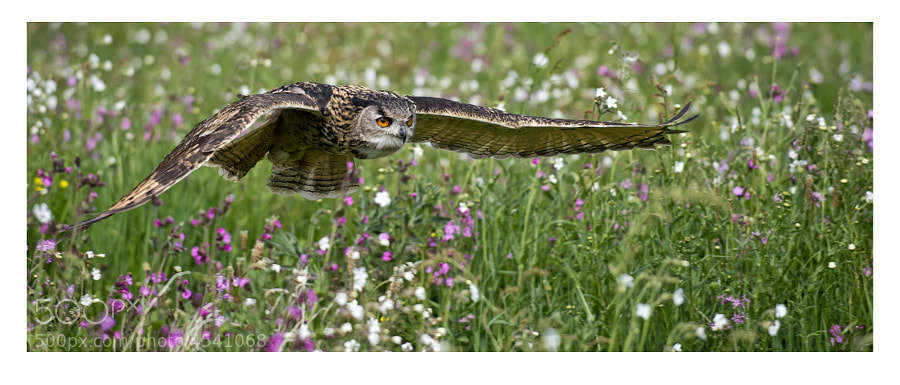A beautiful field of wild flowers and a owl flying low and quick.(c)