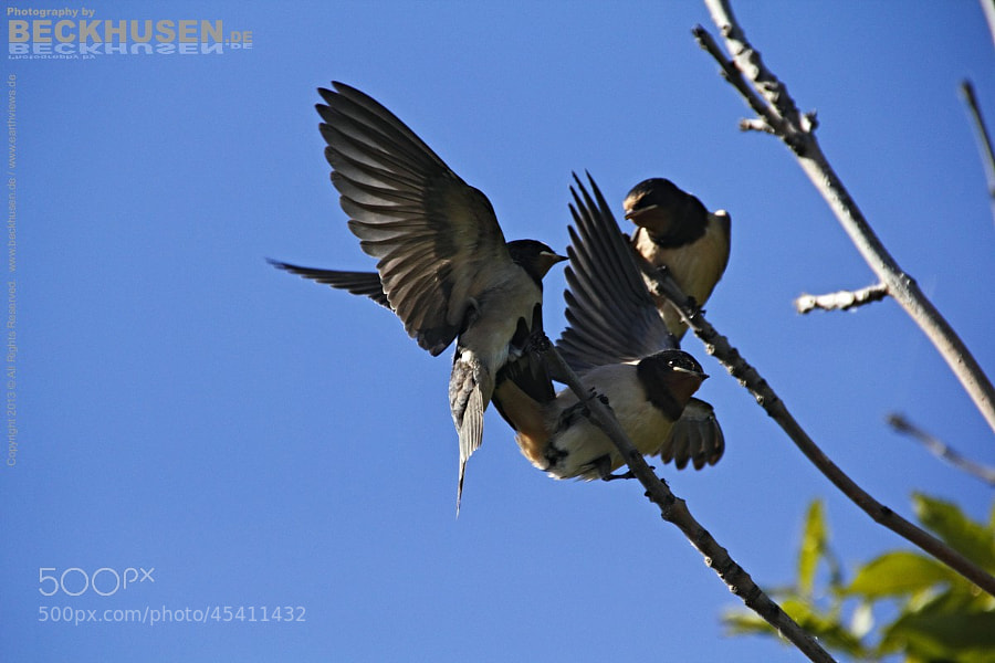 Swallows 1493