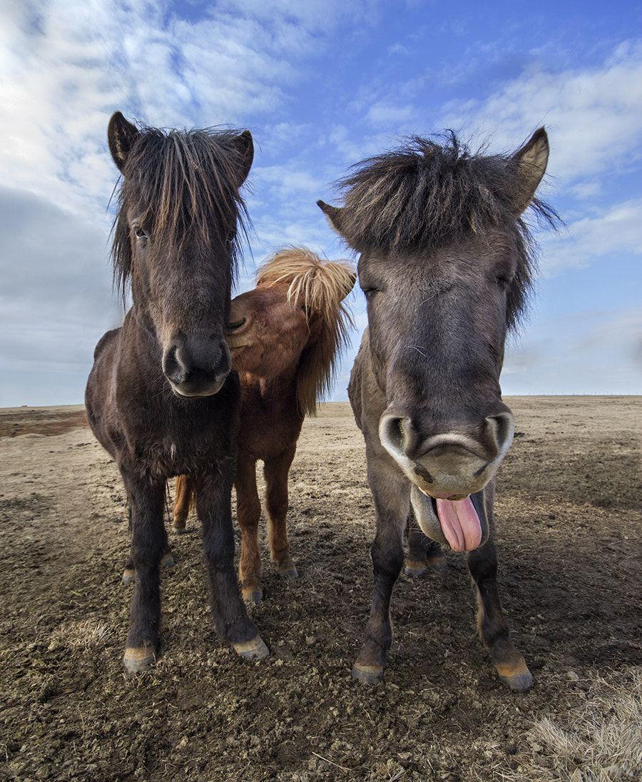 Photograph Icelandic Horses by Keren Segev on 500px
