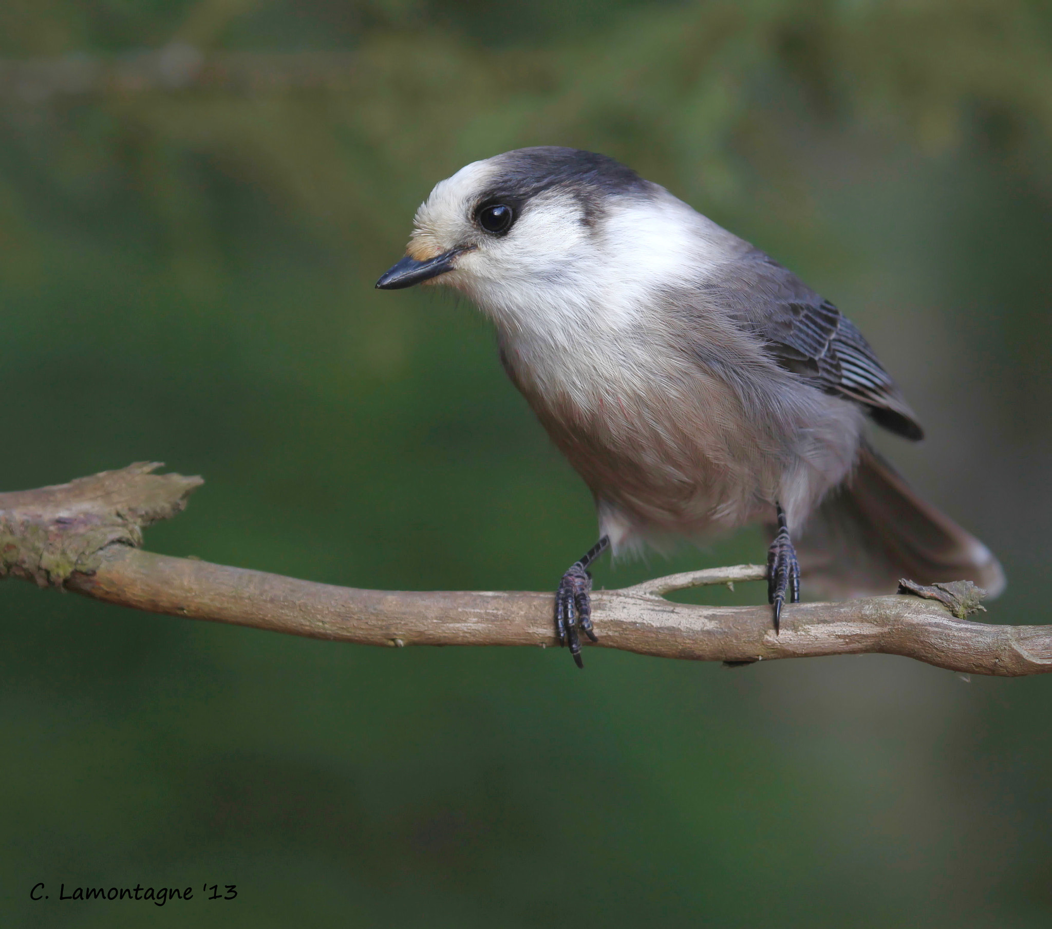 Photograph Gray Jay by Corinne Lamontagne on 500px