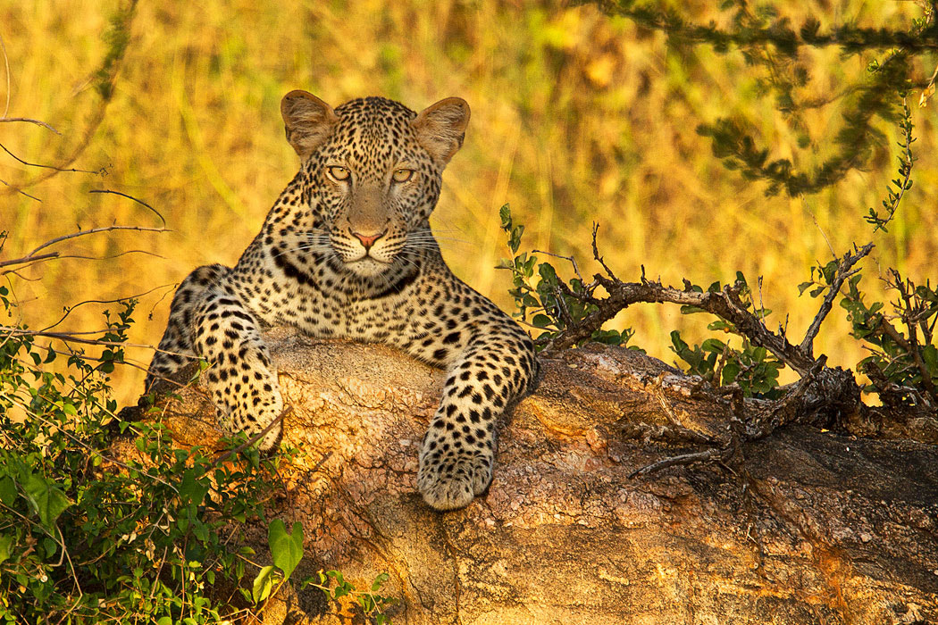 Photograph African Leopard by Stephen Oachs on 500px