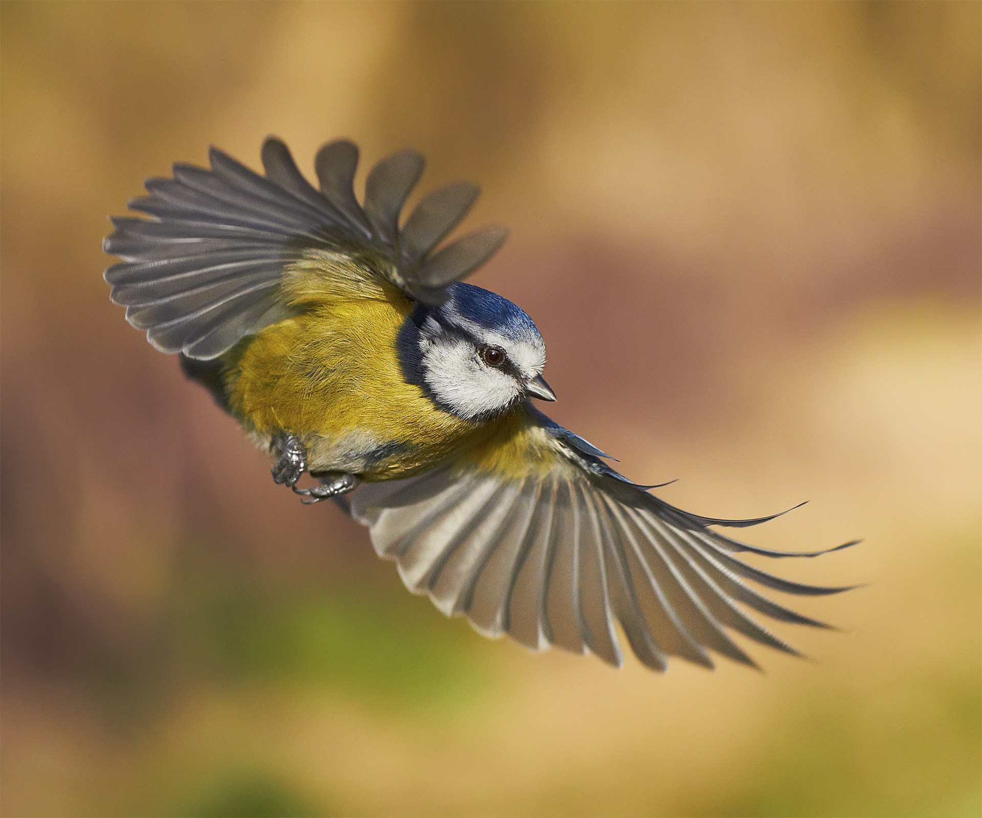 Photograph Blue Tit in flight by Jerry Nicholls on 500px