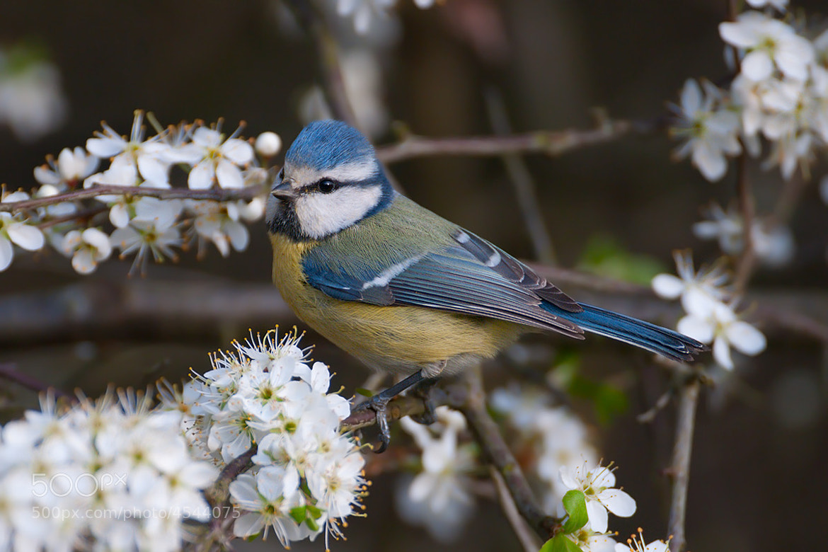 Photograph Blue Tit by Jonas Landolt on 500px
