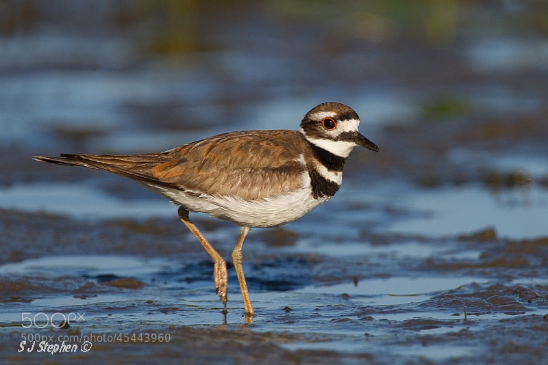 Photograph Early Morning Light - Killdeer by Stephen Stephen on 500px