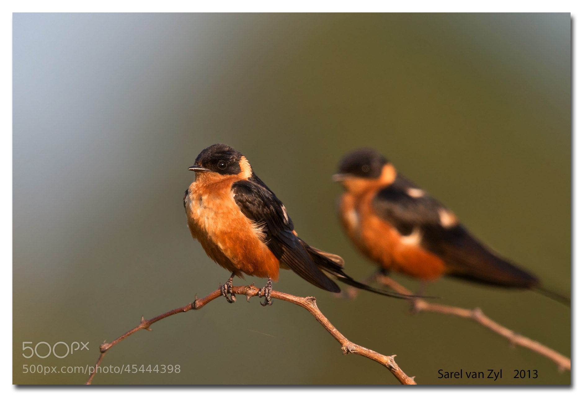 Photograph Red-breasted Swallows by Sarel van Zyl on 500px
