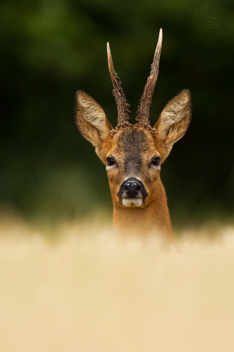 Photograph roe deer by Peter Kralik on 500px