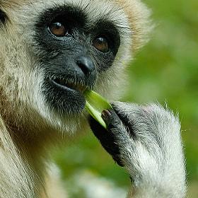 Gibbon by Roberto Merlino (robertomerlino) on 500px.com