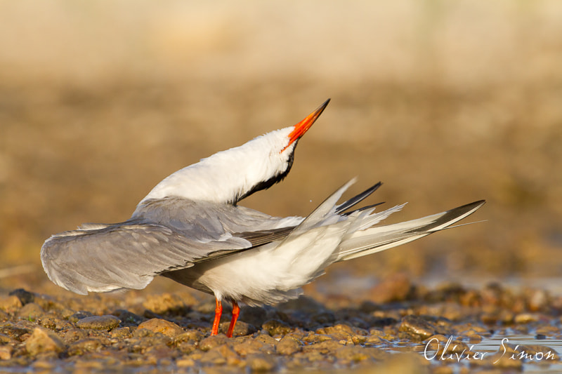 Photograph Grace of the tern by Olivier SIMON on 500px