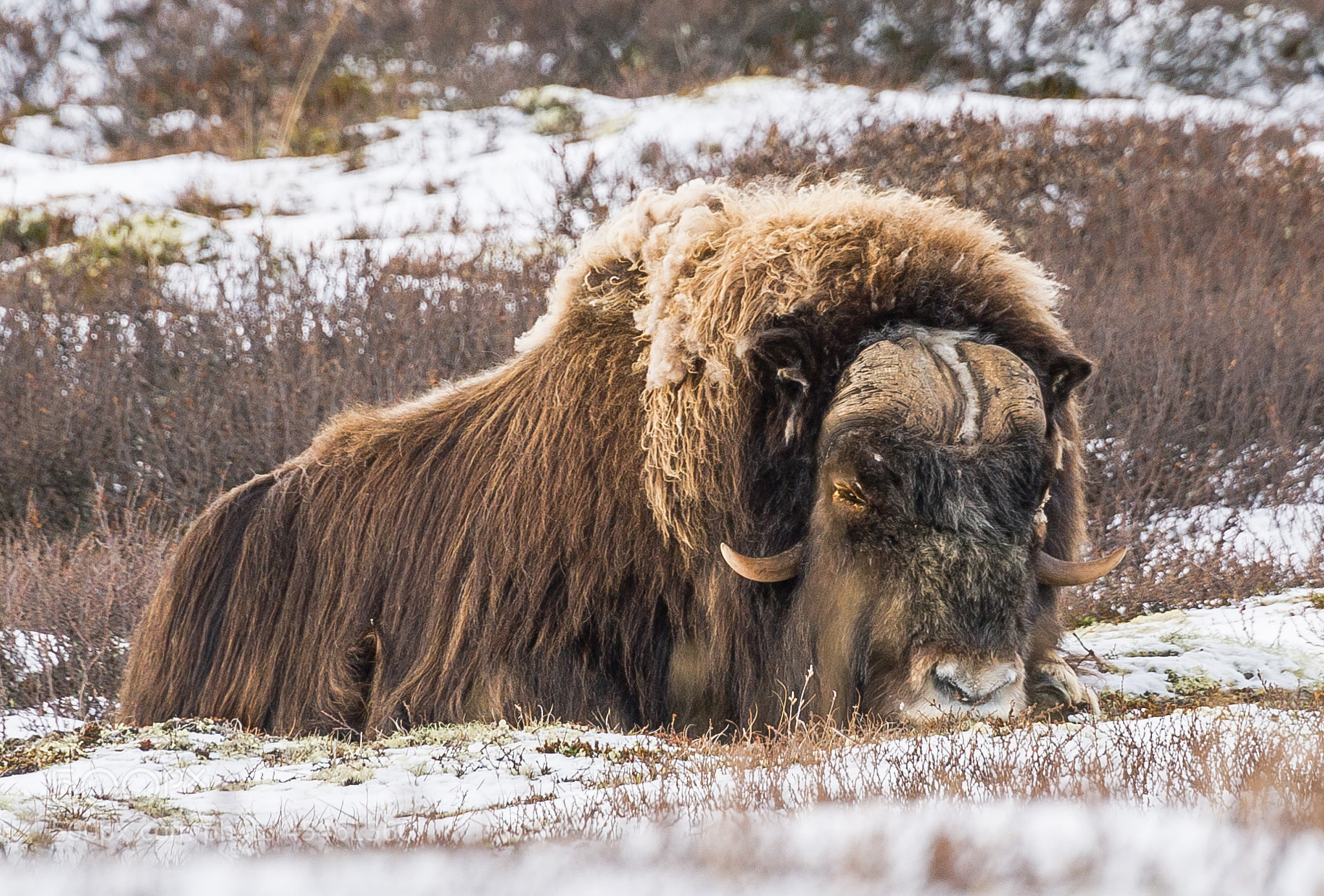 Photograph 400 kg with dormant Moskus by Jørn Allan Pedersen on 500px