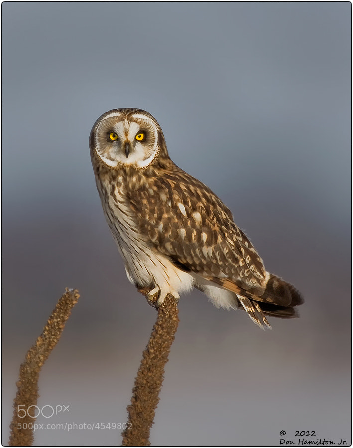 Photograph Short-eared Owl by Don  Hamilton Jr. on 500px