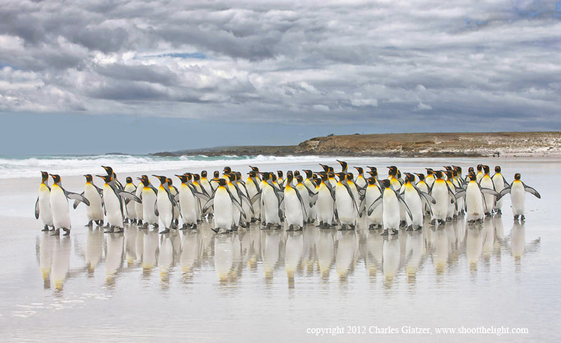 Photograph King penguins with reflections by Charles Glatzer on 500px