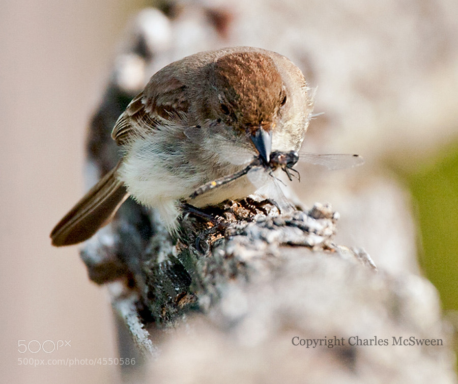 Photograph Sayornis phoebe by Charles McSween on 500px