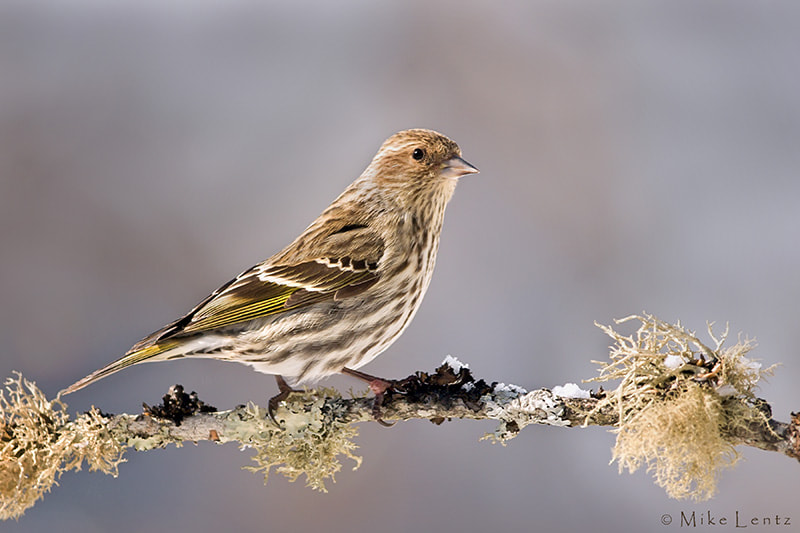 Photograph Pine Siskin by Mike  Lentz on 500px