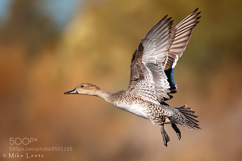 Photograph Pintail flyby by Mike  Lentz on 500px