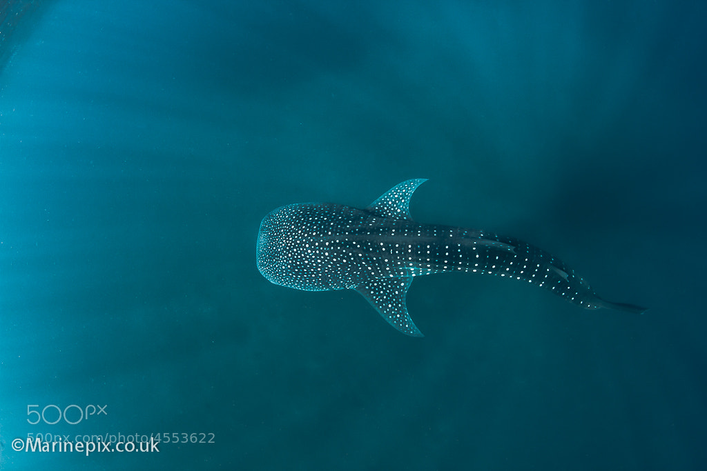 Photograph Whaleshark below by Robert White on 500px