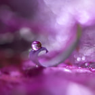 Drop on the dead flower petal