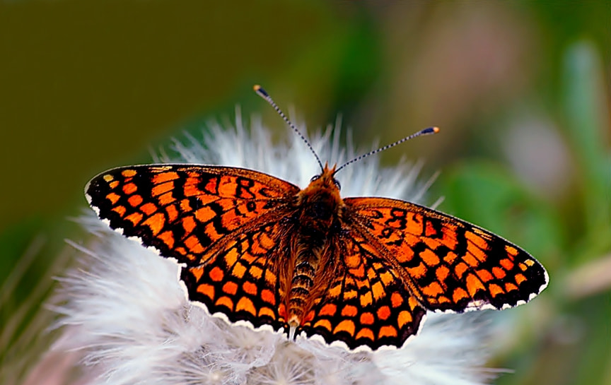 Photograph Melitaea phoebe by ilker kursun on 500px
