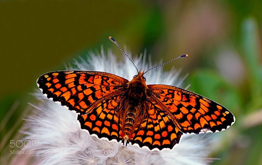 Photograph Melitaea phoebe by ilker kursun on 500px
