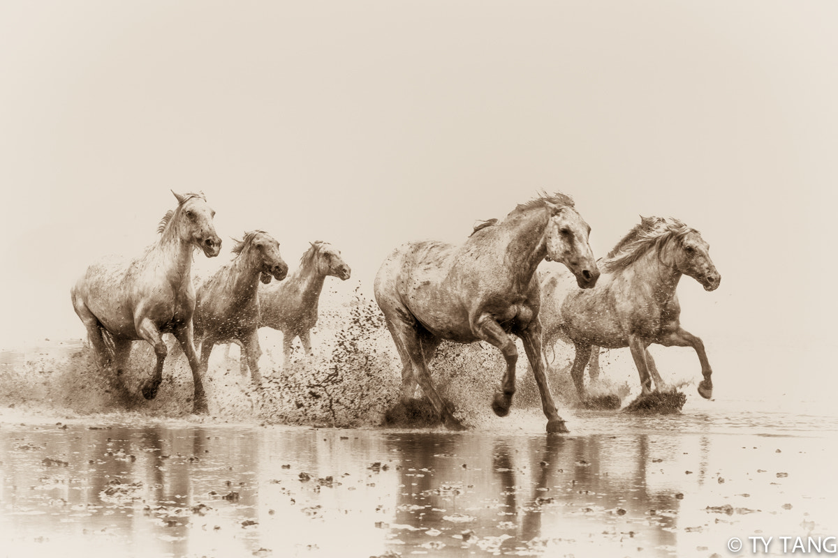 Photograph Wild horses galloping through the marshes of southern France. by TY TANG on 500px