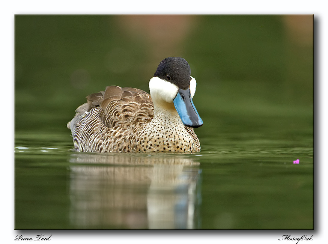 Photograph Puna Teal by Richard Bond on 500px