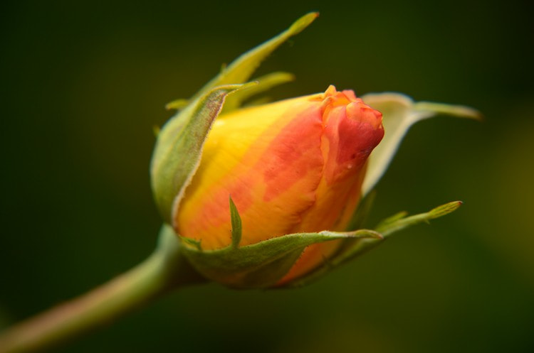 Photograph Rose by Mariana Ito on 500px