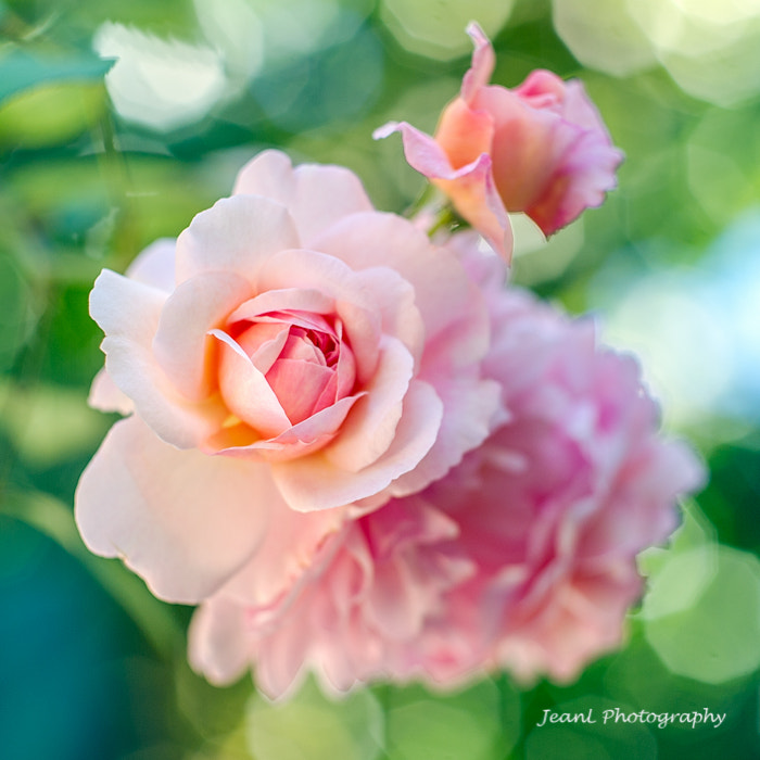 Photograph Pink Roses by Jean Li on 500px