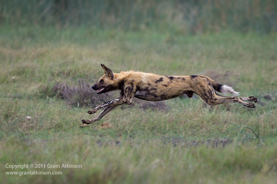 Photograph Wild Dog On The Hunt by Grant Atkinson on 500px