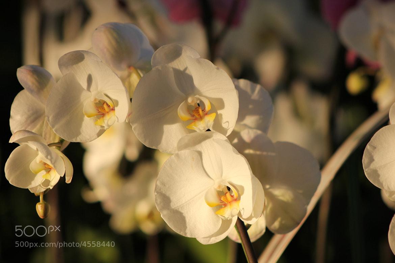 Photograph Orquideas 1 by Fanny Sanchez on 500px