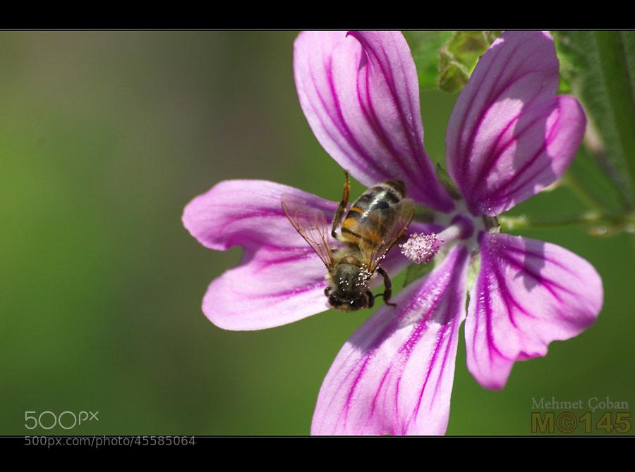 "Bee at work by Mehmet Çoban on 500px.com"" border=""0"" style=""margin: 0 0 5px 0;"