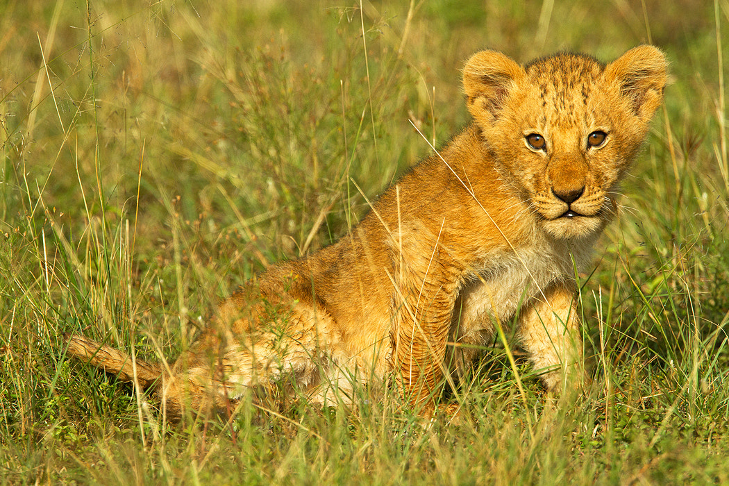 Photograph Simba by Stephen Oachs on 500px
