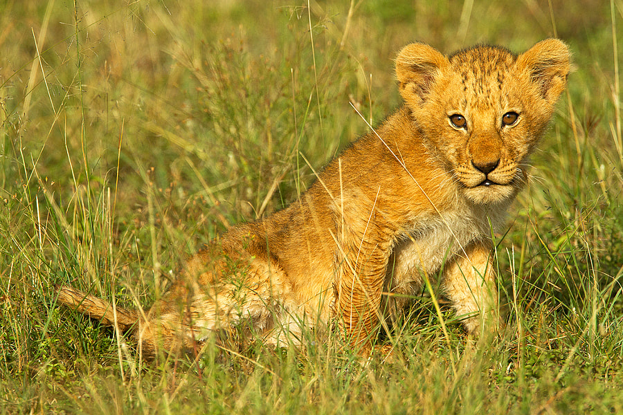 Lion Cub, Masai Mara Kenya Africa