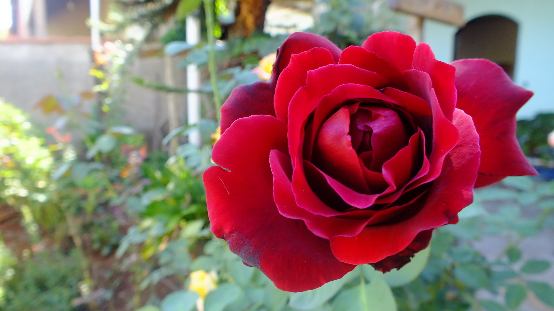 Photograph Red Rose by Eduardo Rolim on 500px