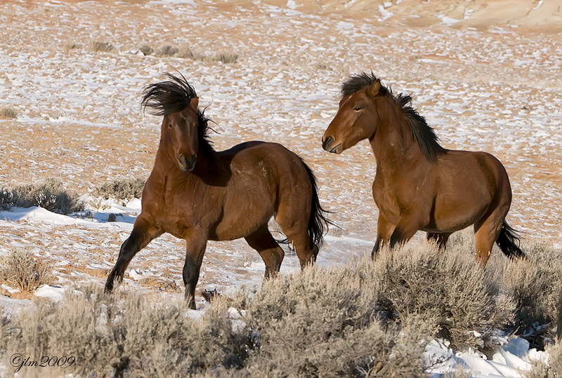 The wild horses of Wyoming just outside of Cody were one of the highlights of my photography  adventure.  It is one of the most beautiful experiences in  the world to see animals free and living without any retrictions.
