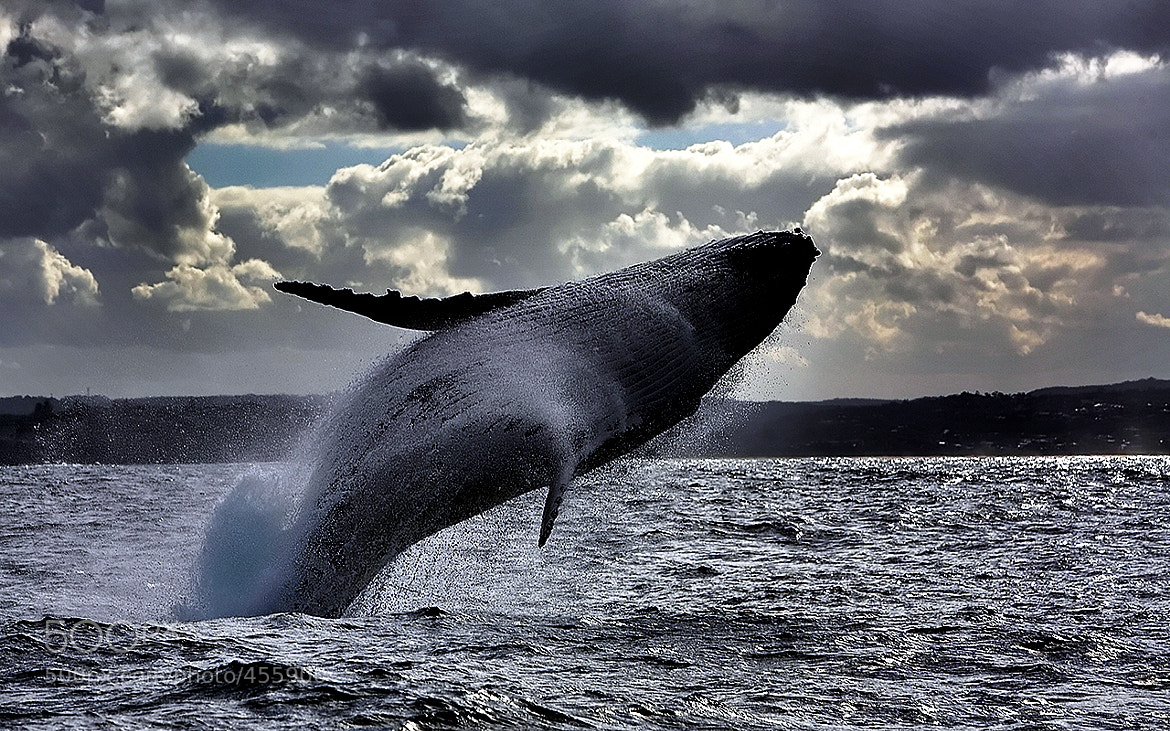 Photograph Dancing whale by Daniel JUN on 500px