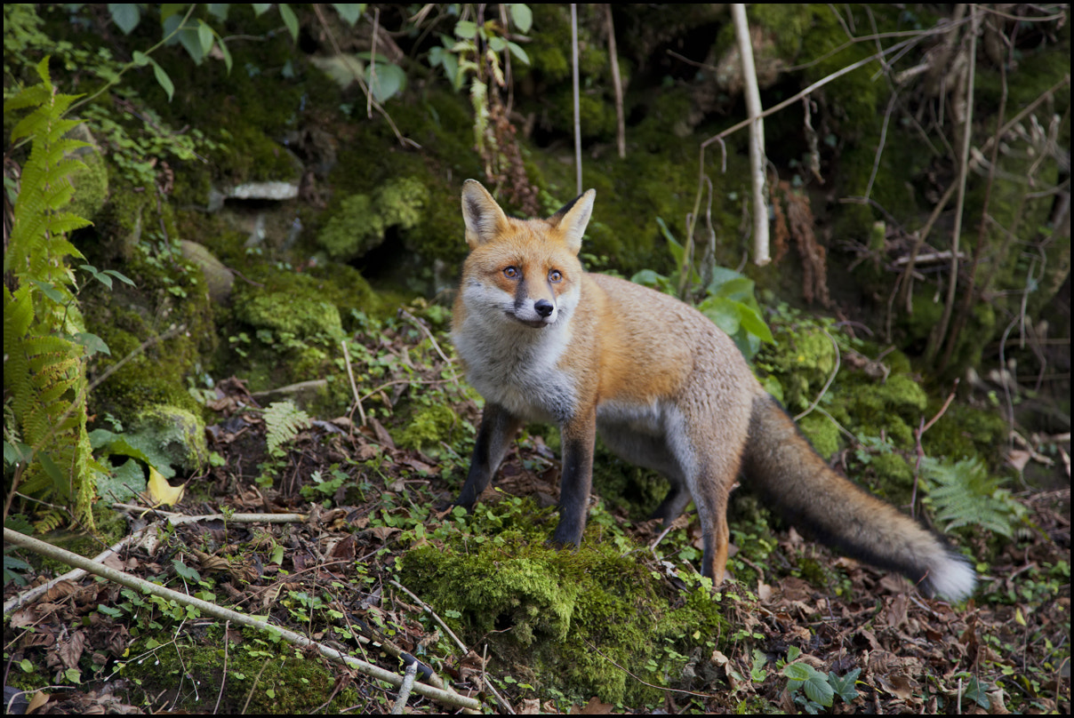 Photograph Red Fox by Ben Locke on 500px