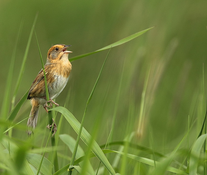 Photograph Nelson's Sharp-Tailed Sparrow by peter  makuch on 500px