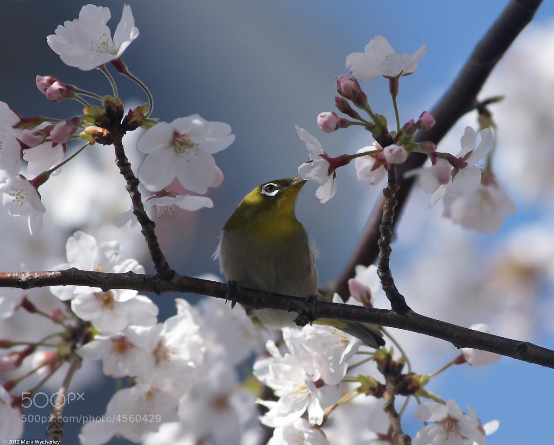 Photograph Mejiro #1 by Mark Wycherley on 500px