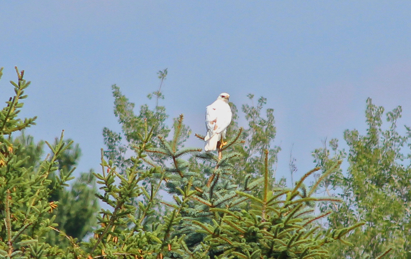 Photograph Albino Hawk by Tim Krause on 500px
