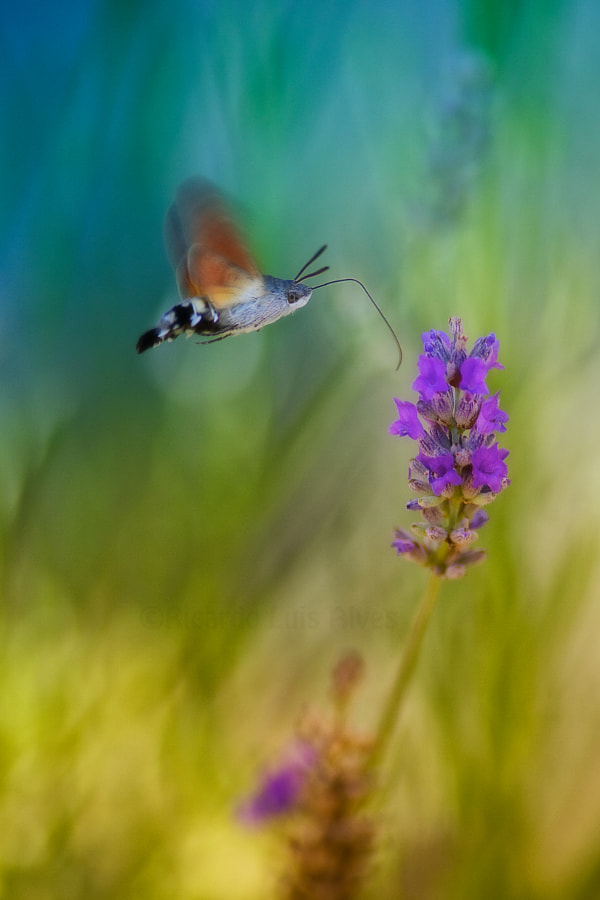 Hummingbird hawk-moth (re-edit) by Ricardo  Alves on 500px.com
