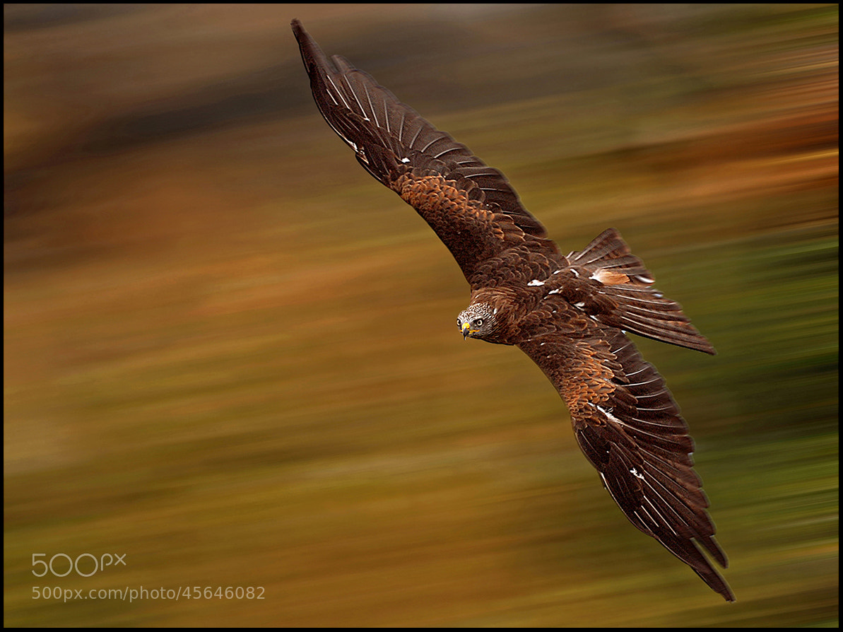 Photograph Red Kite by Ronald Coulter on 500px