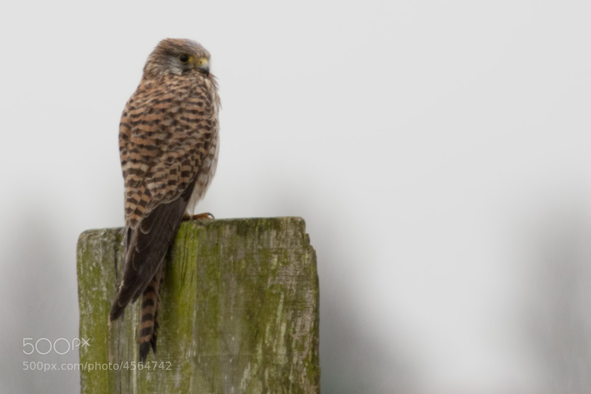 Photograph European Kestrel by Rene Lausberg on 500px