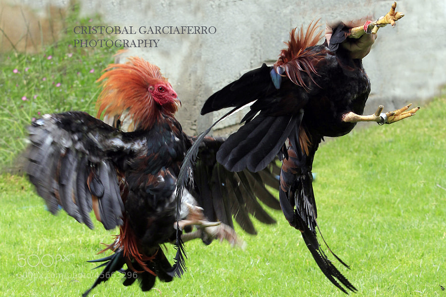 Roosters in battle