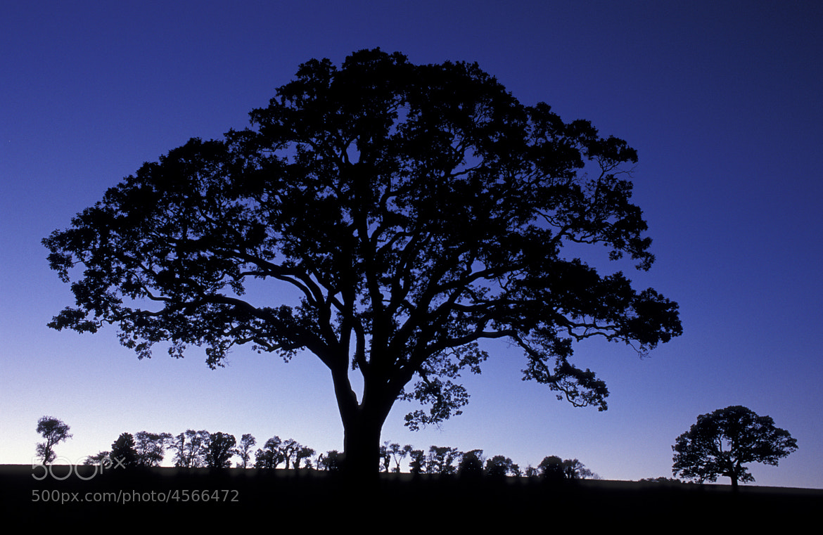 Photograph Oak tree silhouette. by Jerry Monkman on 500px