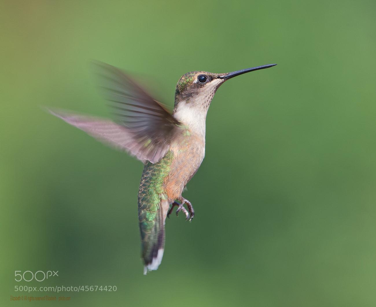 Photograph Hummingbird flight by Elizabeth.  E. on 500px