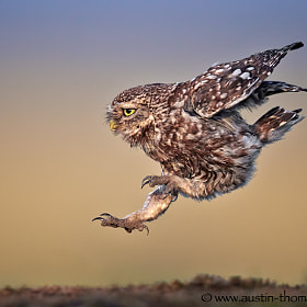 A Long Jumping Little Owl...
