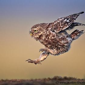 A Long Jumping Little Owl...