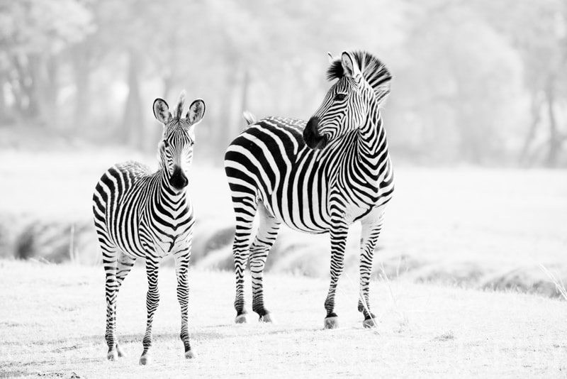 Photograph Zebras in mono by Seb Loram on 500px