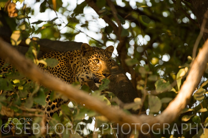 Photograph Luangwa Female Leopard (Olive's cub) by Seb Loram on 500px
