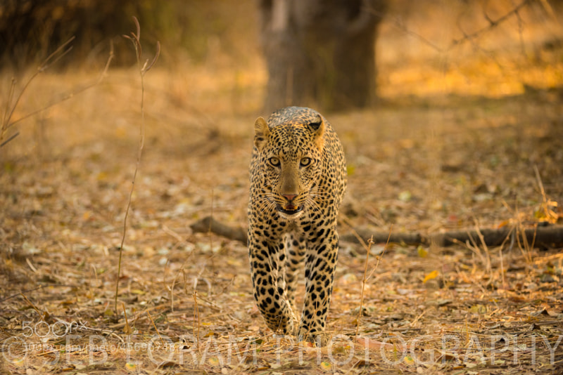 Photograph Luangwa Male Leopard (Olive's Cub) by Seb Loram on 500px